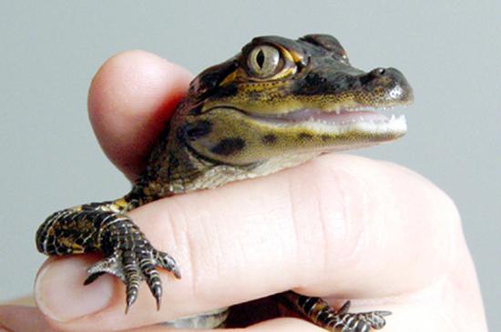 A baby gator up close